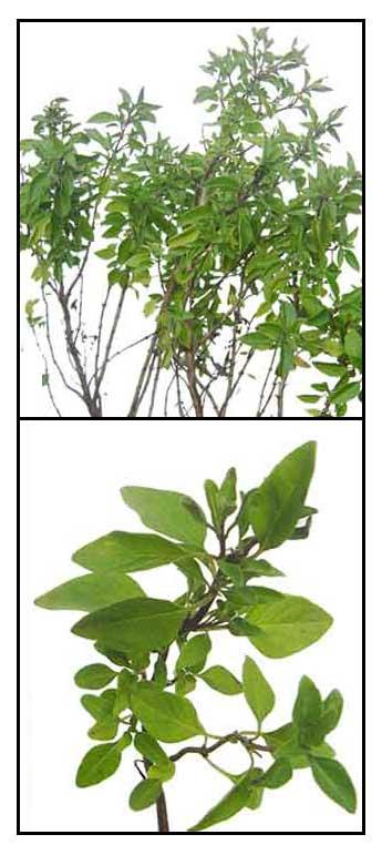 Balanoy / Solasi (Ocimum basilicum)/ Basil / Luo le ...