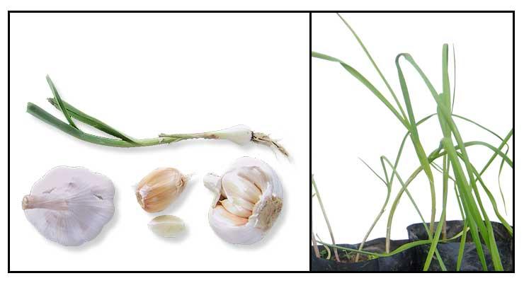 Bawang (Garlic/Allium sativum) : Philippine Herbal Therapy
