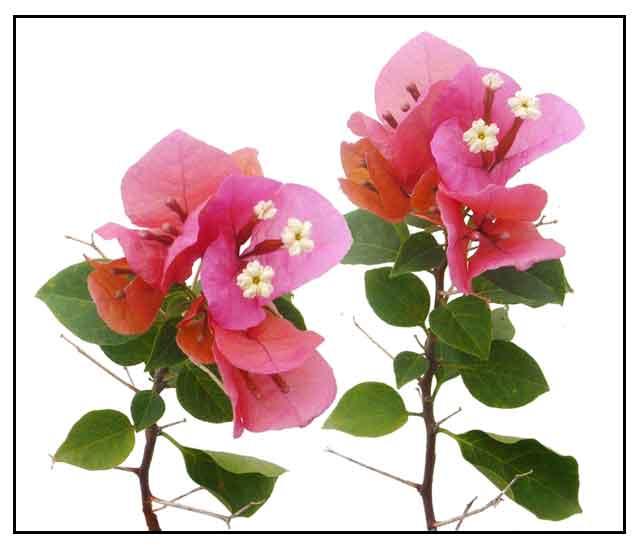 Laprak mortum diagram bunga dan rumus bunga nadafauzannablog 2014 httpstuartxchangebogambilyag ccuart Image collections