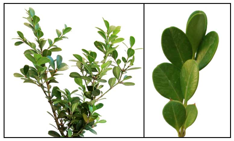 boxwood buxus sempervirens l common box herbal. Black Bedroom Furniture Sets. Home Design Ideas