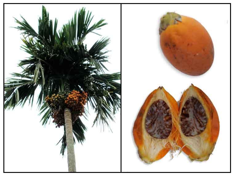 anthelmintic activity of betel nut
