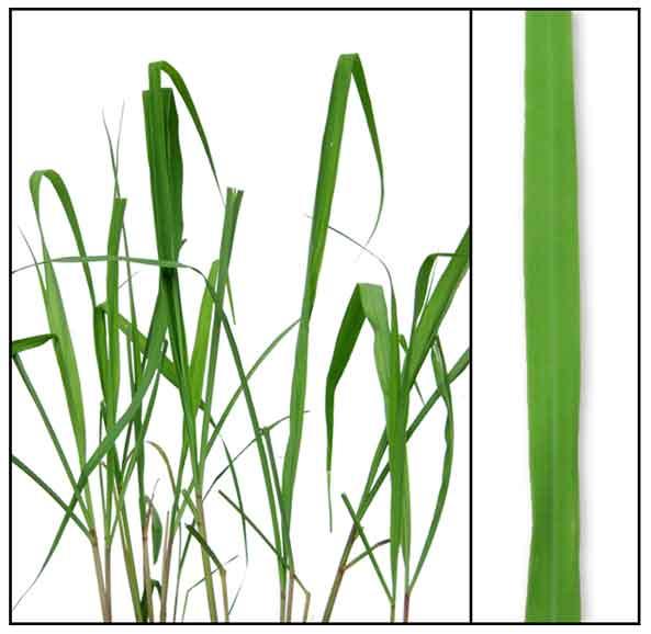 Citronella, Cymbopogon winterianus, C. nardus, CITRONELLA ...