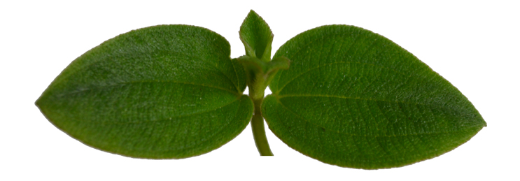 isolation of amyrin from plant parts of m barteri Included β-amyrin synthase (bas), which catalyzes the first committed step in the pathway degenerate oligonucleotide primers based on known plant bas genes were.