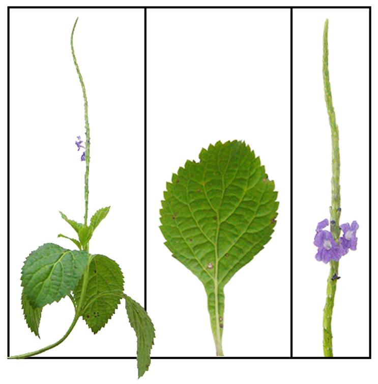 semințe de castan din varicoză