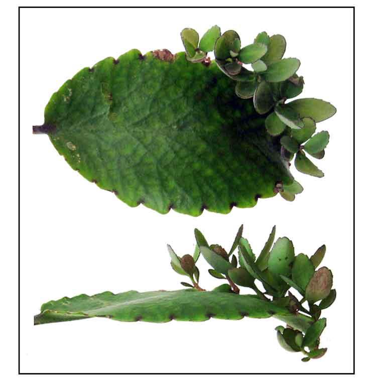 Katakataka / Bryophyllum Pinnatum / Angelica / Live leaf of - 743x757 ... Kalanchoe Pinnata