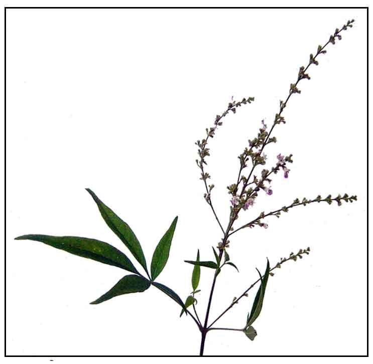 Lagundi / Vitex negundo / Five-leaved chaste tree: Herbal ...