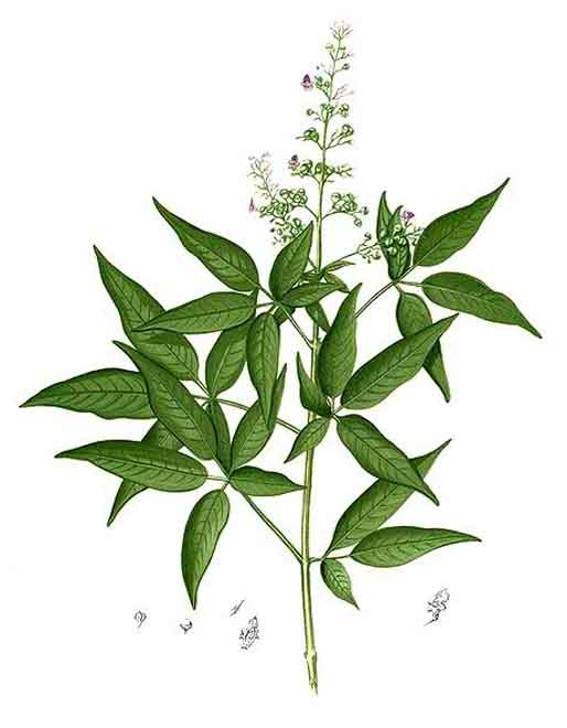 phytoremediation of vitex negundo plants 2018 past issues screening of medium  comparitive study of anthelmintic activity of vitex negundo,  phytochemical profile of three selected plants of vitex.
