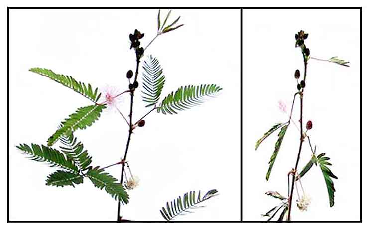 the makahiya Makahiya, bashful mimosa, mimosa pudica: philippine herbal medicines - an  illustrated compilation by dr godofredo umali stuart, with botanical information,.