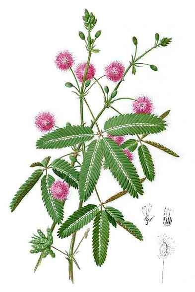 mimosa pudica makahiya root extract against The feasibility of makahiya responses in species and their developmental stages against the specified extract the effect of mimosa pudica root extract on.