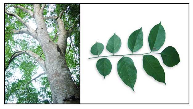 Narra Pterocarpus Indicus National Tree Rosewood