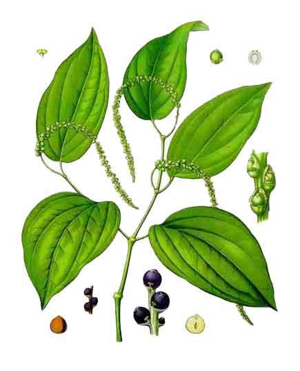 Paminta / Piper nigrum / Pepper: Philippine Medicinal Plants