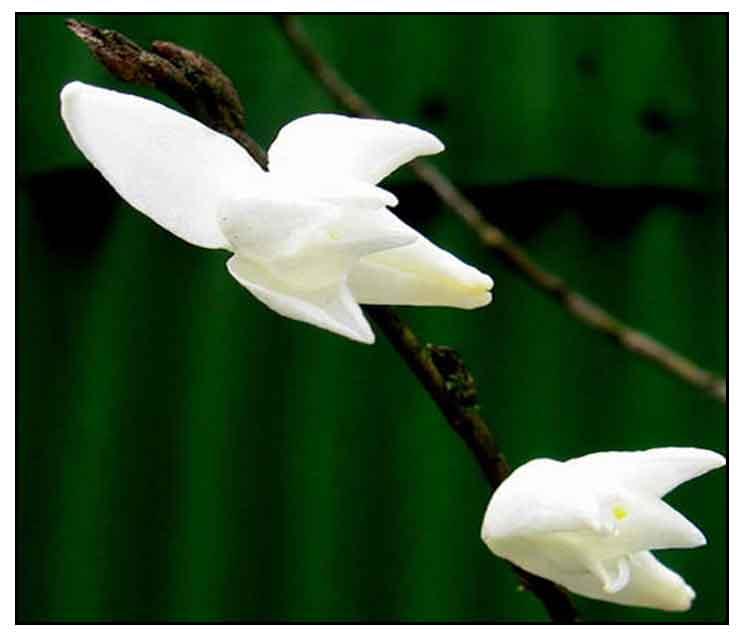 Pigeon orchid dendrobium crumenatum sw white dove