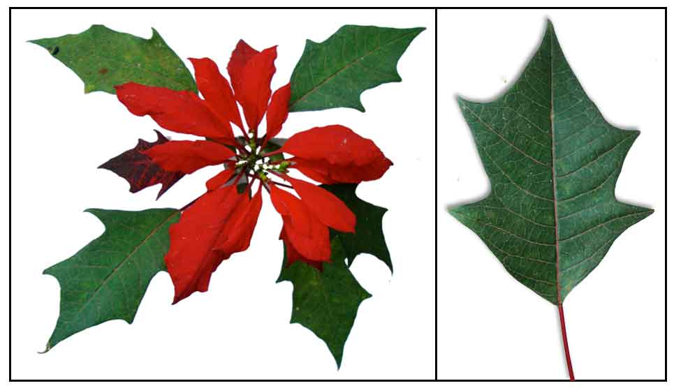 Red Christmas Flower.Poinsettia Euphorbia Pulcherrima Christmas Flower