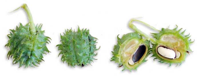 """Résultat de recherche d'images pour """"castor fruit"""""""