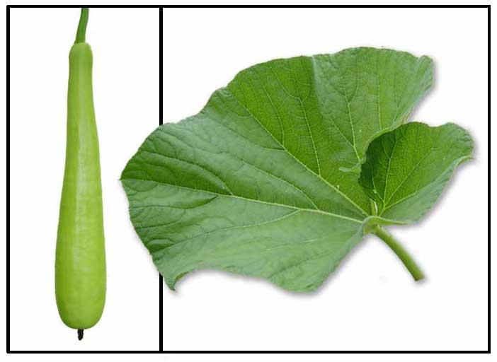 Upo / Lagenaria siceraria / BOTTLE GOURD, WHITE PUMPKIN ...